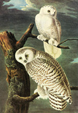 Audubon Snowy Owl Bird Art Poster Print Masterprint