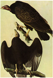 Audubon Turkey Vulture Bird Art Poster Print Prints