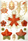 Asteridea Nature Print Poster by Ernst Haeckel Print