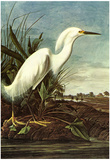 Audubon Snowy Egret Bird Art Poster Print Prints