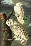 Audubon Snowy Owl Bird Art Poster Print Print