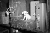 Puppy with Suitcases Archival Photo Poster Print Masterprint