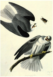 Audubon White Tailed Kite Bird Art Poster Print Poster