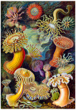 Actiniae Nature Art Print Poster by Ernst Haeckel Billeder