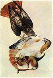 Audubon Red Tailed Hawk Bird Art Poster Print Print