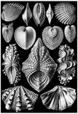 Acephala Nature Print Poster by Ernst Haeckel Posters