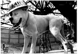 White Boxer in Hardhat Archival Photo Poster Posters