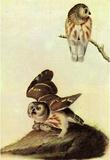 Audubon Saw-Whet Owl Bird Art Poster Print Masterprint