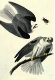 Audubon White Tailed Kite Bird Art Poster Print Masterprint