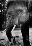 Stony the Elephant Drinking 1978 Archival Photo Poster Prints