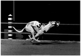 Racing Greyhound Archival Photo Poster Posters