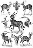 Antilopina Nature Art Print Poster by Ernst Haeckel Plakat