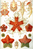 Asteridea Nature Print Poster by Ernst Haeckel Masterprint