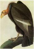 Audubon California Condor Bird Art Poster Print Posters