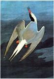 Audubon Arctic Tern Bird Art Poster Print Posters