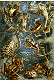 Batrachia Nature Art Print Poster by Ernst Haeckel Posters