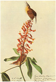 Audubon Carolina Wren Bird Art Poster Print Poster