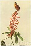 Audubon Carolina Wren Bird Art Poster Print Posters