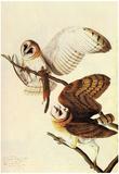 Audubon Barn Owl Bird Art Poster Print Poster