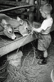 Boy Feeding Cows Archival Photo Poster Print Masterprint