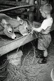 Boy Feeding Cows Archival Photo Poster Print Masterprint