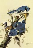 Audubon Blue Jay Bird Art Poster Print Masterprint