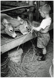 Boy Feeding Cows Archival Photo Poster Print Plakát