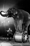 Circus Elephant on Stand Archival Photo Poster Print Masterprint