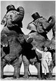 Circus Elephants Standing Up Archival Photo Poster Print Photo
