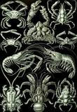 Decapoda Nature Art Print Poster by Ernst Haeckel Masterprint