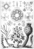 Hexactinellae Nature Art Print Poster by Ernst Haeckel Prints