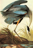 Audubon Great Blue Heron Bird Art Poster Print Masterprint