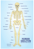 Human Skeleton Anatomy Anatomical Chart Poster Print Plakater