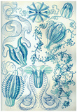 Ctenophorae Nature Art Print Poster by Ernst Haeckel Prints