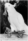 Cockatoo With Bell Archival Photo Poster Posters