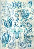 Ctenophorae Nature Art Print Poster by Ernst Haeckel Masterprint