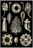Calcispongiae Nature Art Print Poster by Ernst Haeckel Posters