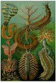 Chaetopoda Nature Art Print Poster by Ernst Haeckel Posters