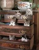Kittens in Drawers (Pets) Photo Print Poster Prints