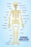 Human Skeleton Anatomy Anatomical Chart Poster Print Masterprint