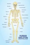 Human Skeleton Anatomy Anatomical Chart Poster Print Masterprint
