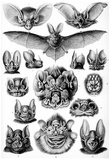 Chiroptera Nature Art Print Poster by Ernst Haeckel Plakaty