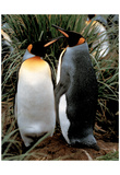 King Penguins (Couple Standing) Art Poster Print Prints