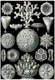 Hexacoralla Nature Print Poster by Ernst Haeckel Billeder