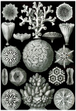 Hexacoralla Nature Print Poster by Ernst Haeckel Photo