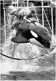 Man Riding Killer Whale 1975 Archival Photo Poster Prints