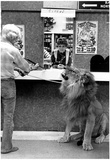 Lion at Circus Ticket Booth Archival Photo Poster Posters