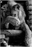 Lion Washing Archival Photo Poster Print
