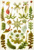 Hepaticae Nature Art Print Poster by Ernst Haeckel Posters