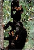Kristin Mosher (Chimps) Art Poster Print Print